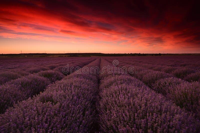 Fiori del giacimento della lavanda al tramonto nell'ora legale fotografie stock