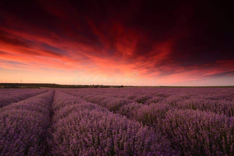 Fiori del giacimento della lavanda al tramonto nell'ora legale fotografie stock libere da diritti