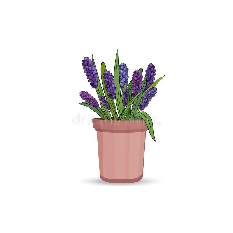 Fiori del giacinto della primavera con le foglie e l'erba in un vaso di fiore su un fondo bianco Vettore illustrazione di stock