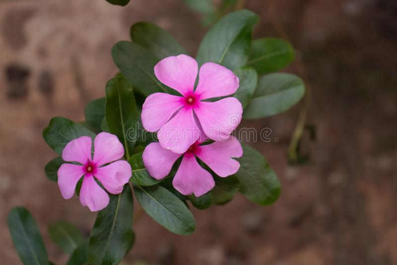 Fiori del giardino con cinque petalas immagine stock