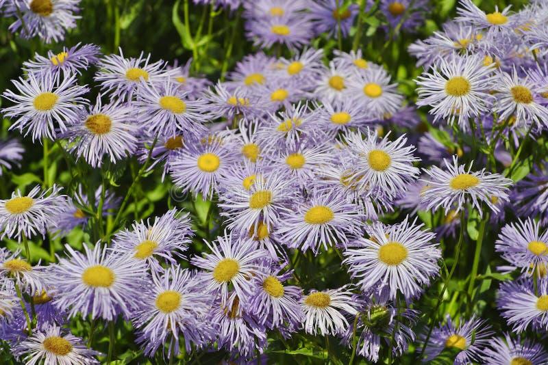 Fiori del giardino Fleabane o dello speciosus di erigeron di Fleabane del prato fotografia stock