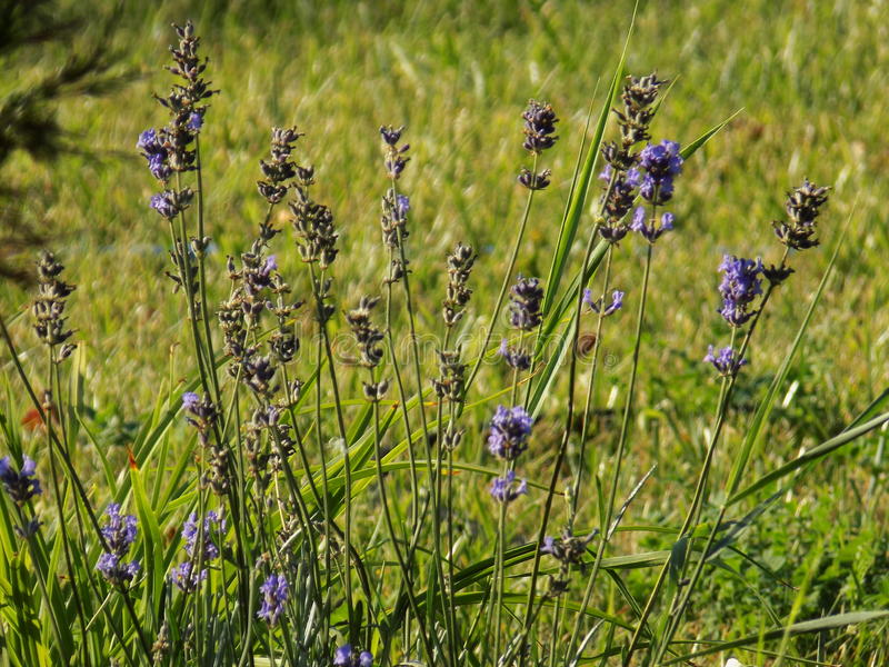 fiori del lavander su un prato verde fotografia stock
