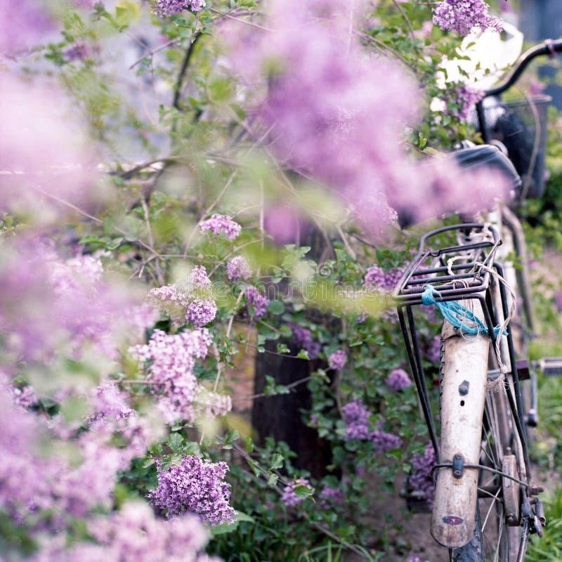 Fiori del lillà e della bicicletta fotografia stock