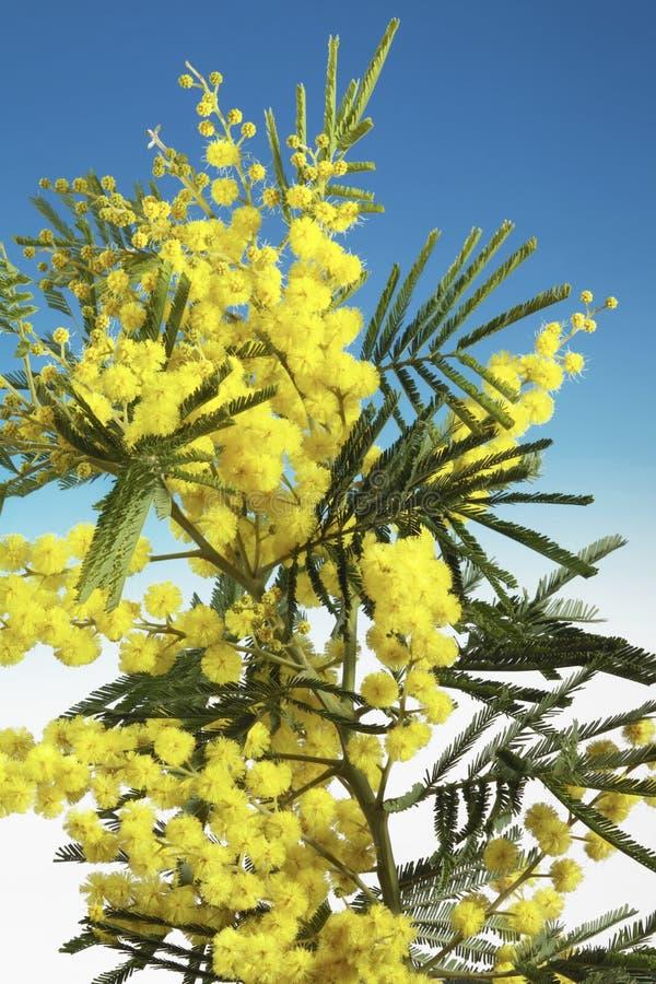 Fiori del Mimosa fotografie stock libere da diritti
