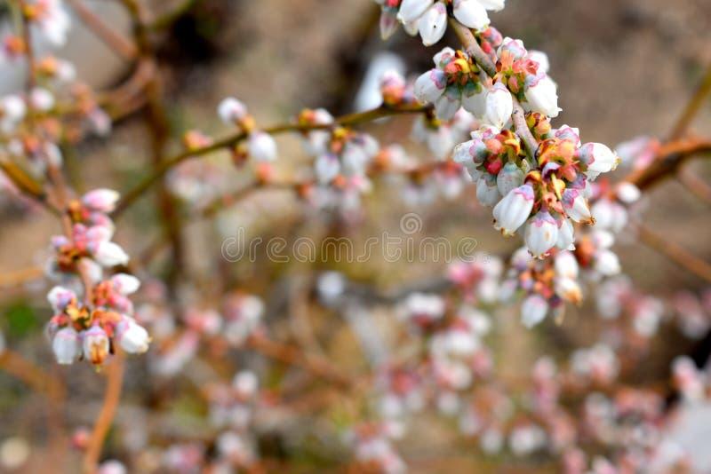 Fiori del mirtillo nel giardino immagini stock