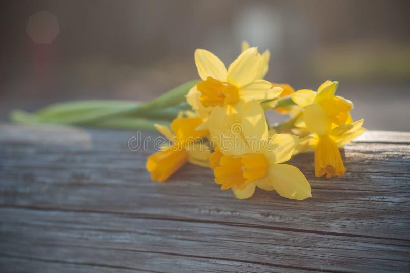Fiori del narciso in all'aperto sul recinto di legno fotografia stock libera da diritti