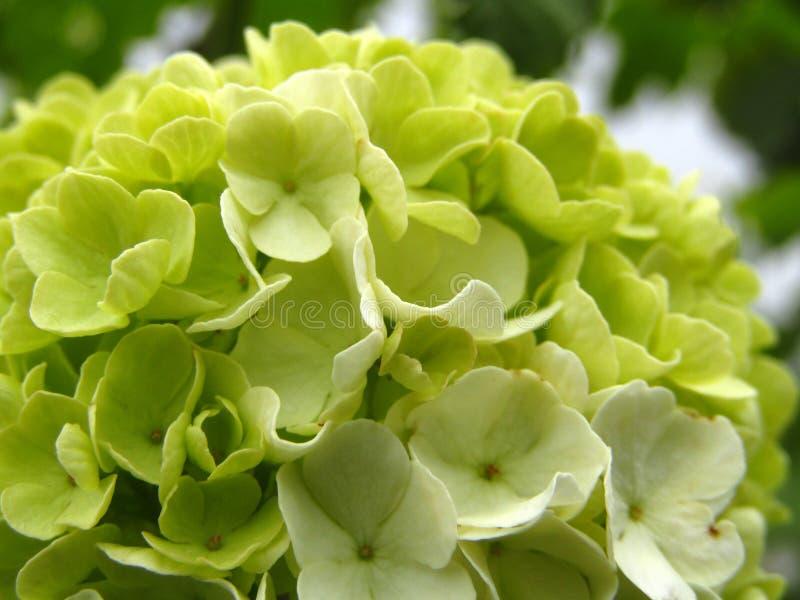 """Fiori del opulus """"Roseum """"di viburno dell'albero della palla di neve prima da fiorire Macro fotografia stock"""