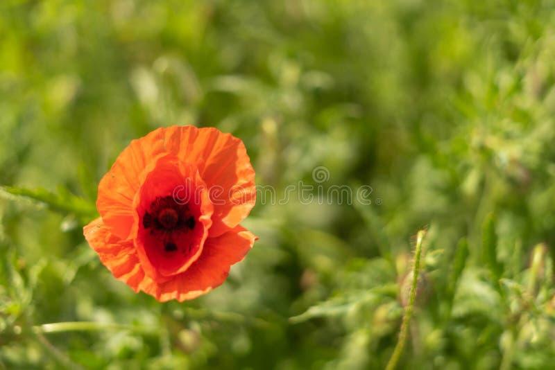 Fiori del papavero sul campo contro il cielo blu e l'erba verde Fuoco selettivo fotografia stock