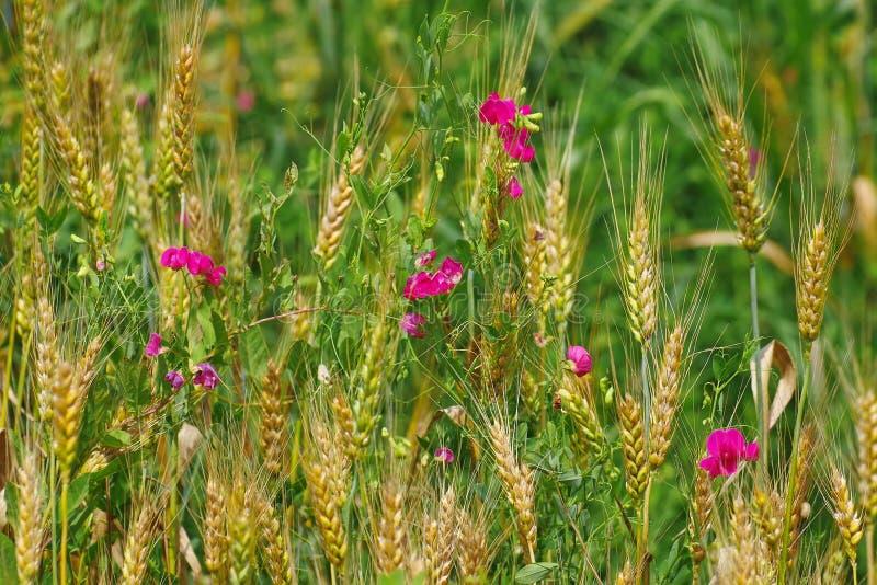 Fiori del pisello dolce ed orecchie di grano immagine stock