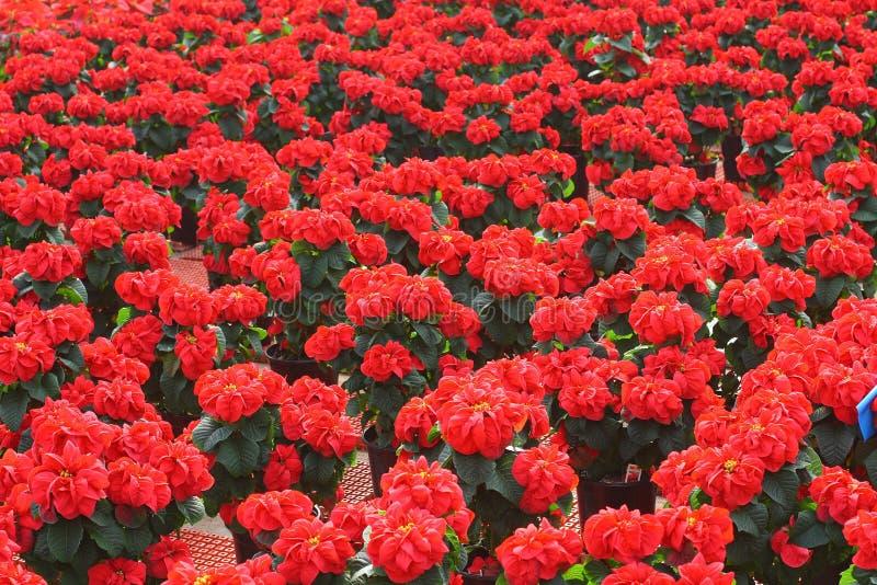 Fiori del Poinsettia della Rosa fotografie stock libere da diritti