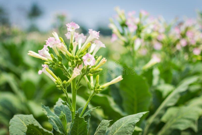 Fiori del tabacco nella pianta dell'azienda agricola immagine stock