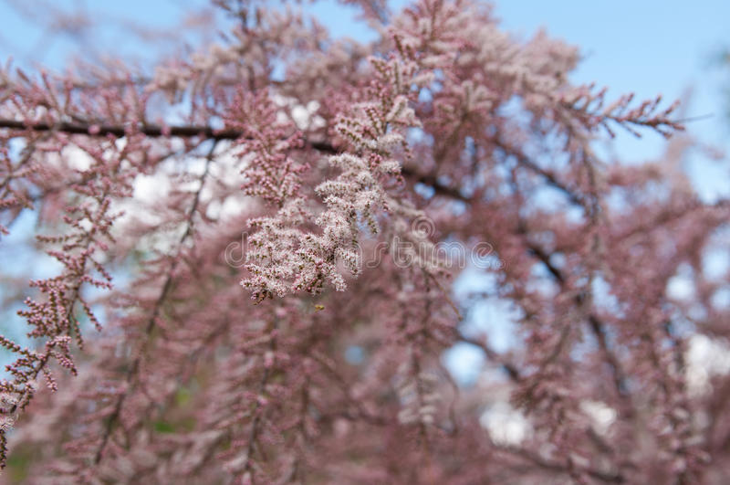 fiori del tamarix fotografia stock libera da diritti