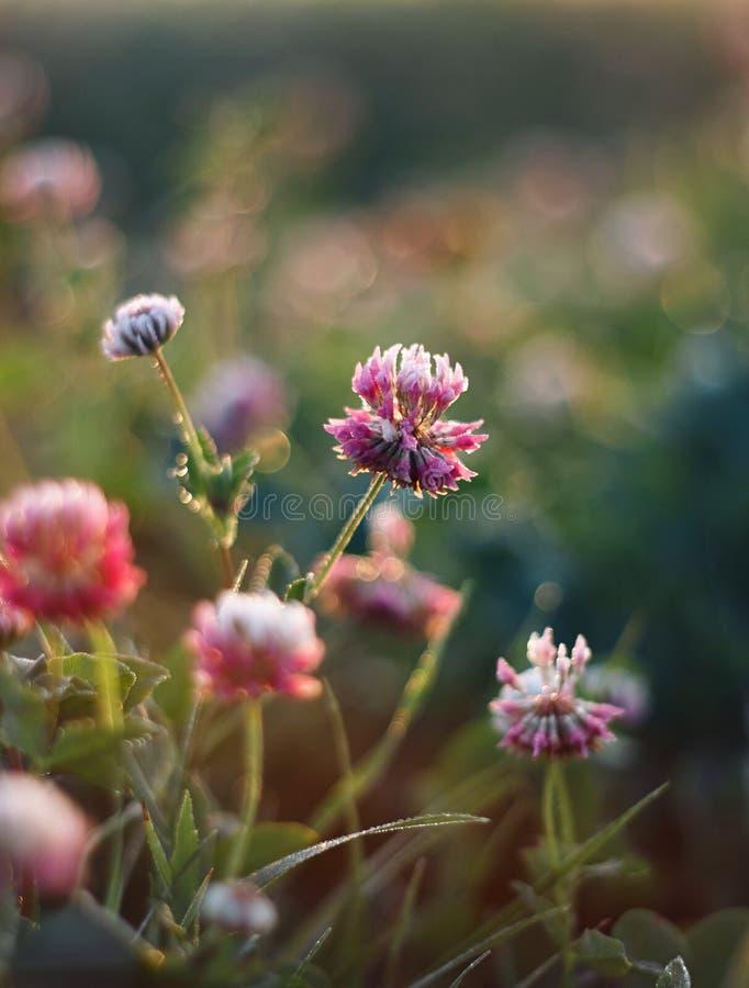 Fiori del trifoglio rosa delicato svilupparsi in uno schiarimento immagine stock