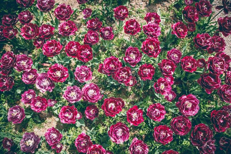 Fiori del tulipano di Purpl immagine stock