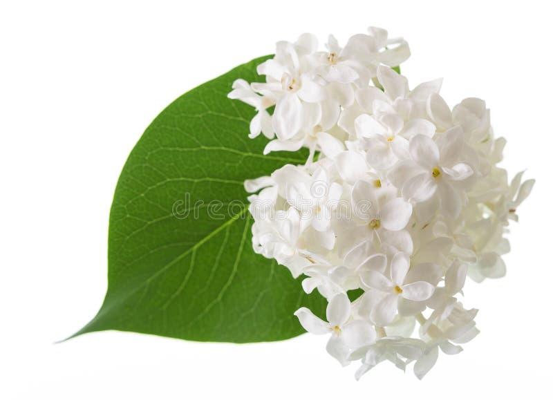 Fiori delicati del lillà bianco come la neve e della foglia verde isolati su bianco fotografie stock