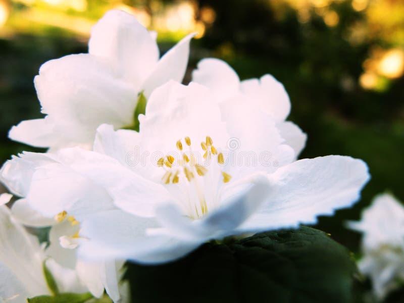 Fiori delicati della molla Chubushnika dei fiori bianchi Aroma magico di piccoli fiori bianchi fotografia stock