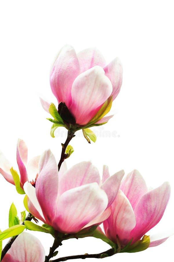 Fiori dell'albero della magnolia fotografie stock