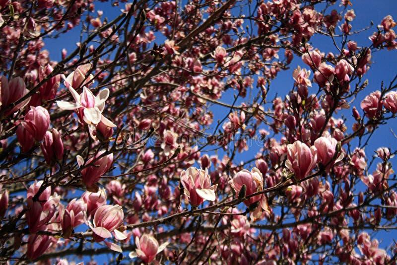 Fiori dell'albero della magnolia di piattino con cielo blu immagini stock libere da diritti
