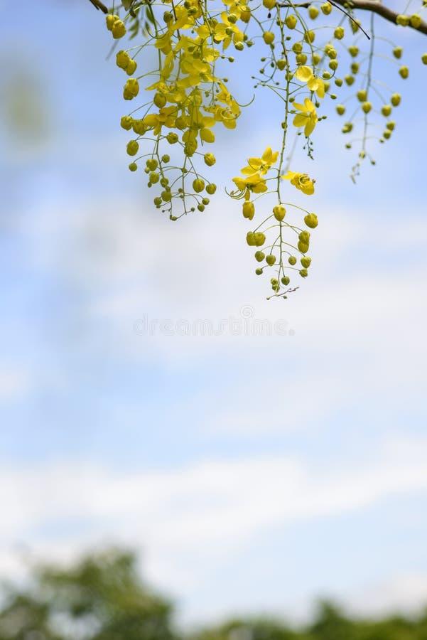 Fiori dell'albero di acquazzone dorato immagini stock libere da diritti