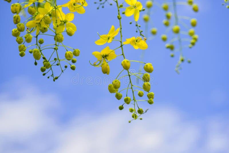 Fiori dell'albero di acquazzone dorato fotografia stock