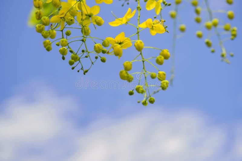 Fiori dell'albero di acquazzone dorato immagine stock