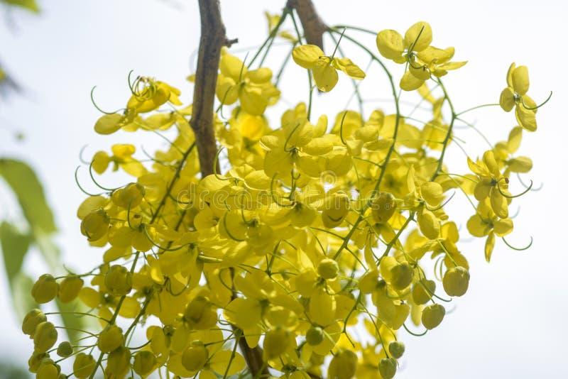 Fiori dell'albero di acquazzone dorato fotografie stock