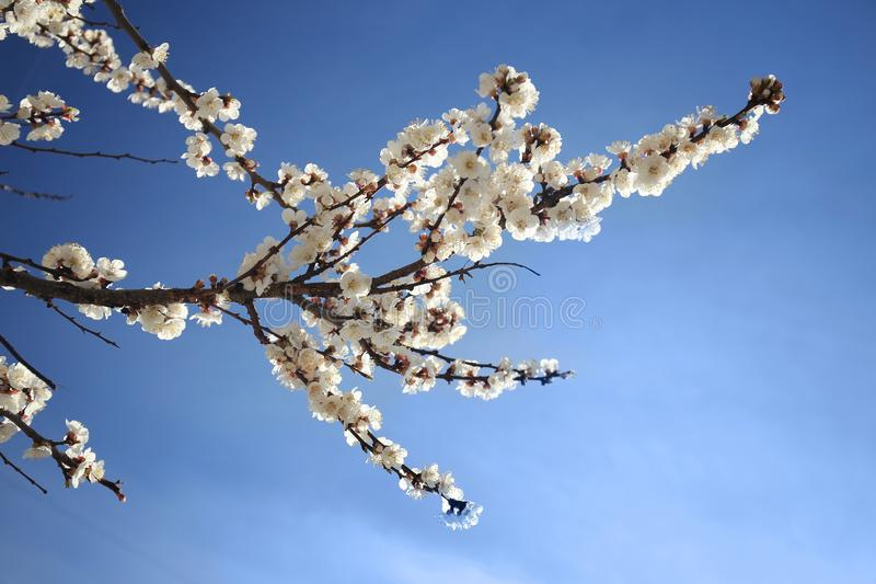 Fiori dell'albero di albicocca immagini stock libere da diritti
