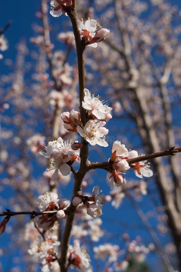 Fiori dell'albero di albicocca immagine stock libera da diritti