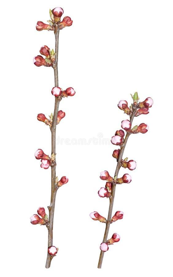 Fiori dell'albero di albicocca della primavera immagine stock
