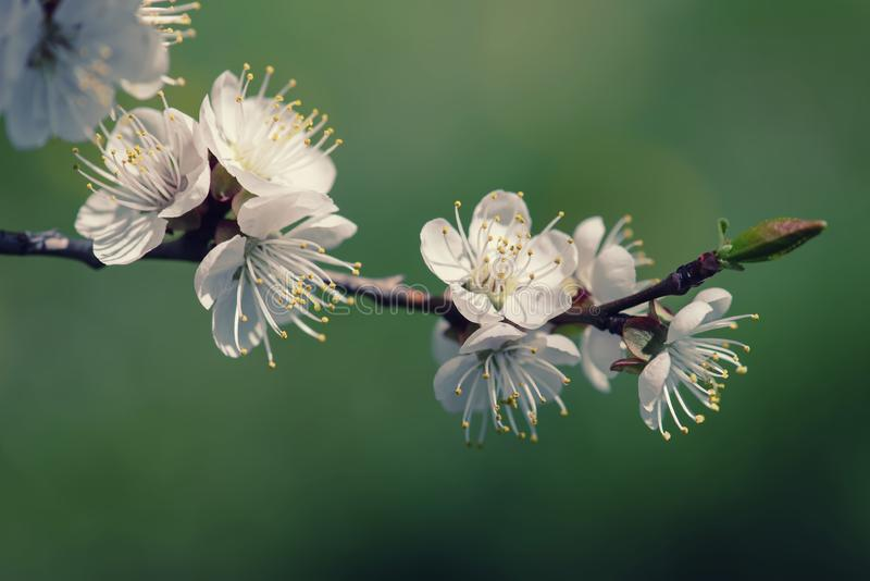 Fiori dell'albero di albicocca fotografia stock libera da diritti