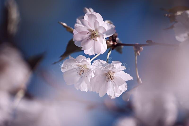 Fiori dell'albero di albicocca fotografia stock