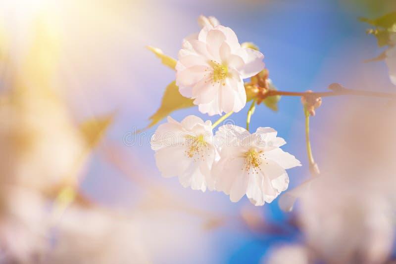 Fiori dell'albero di albicocca immagine stock