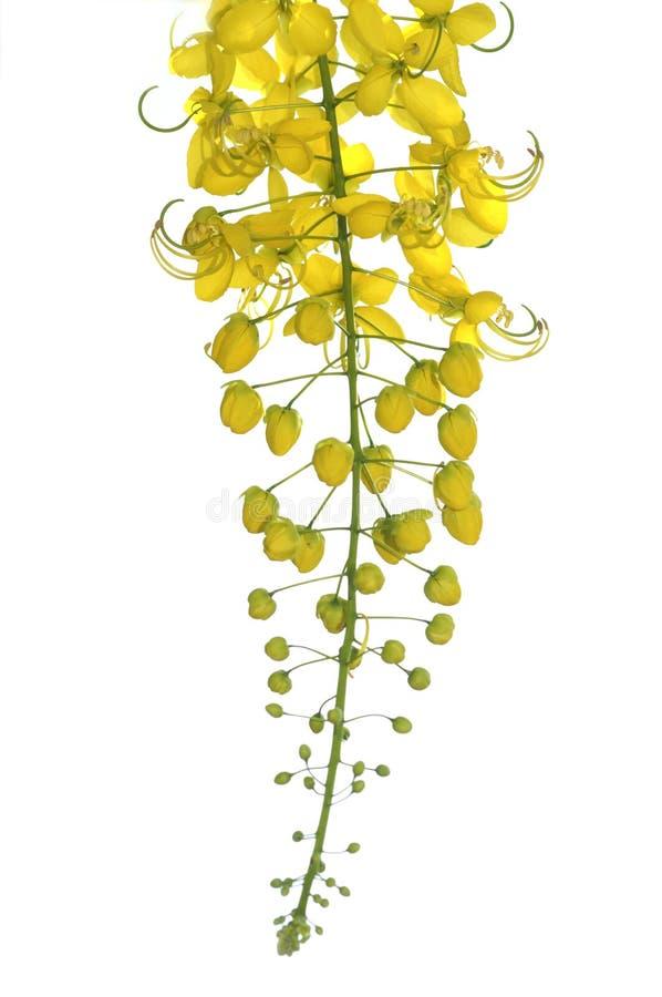 Fiori dell'albero di doccia dorata immagine stock libera da diritti