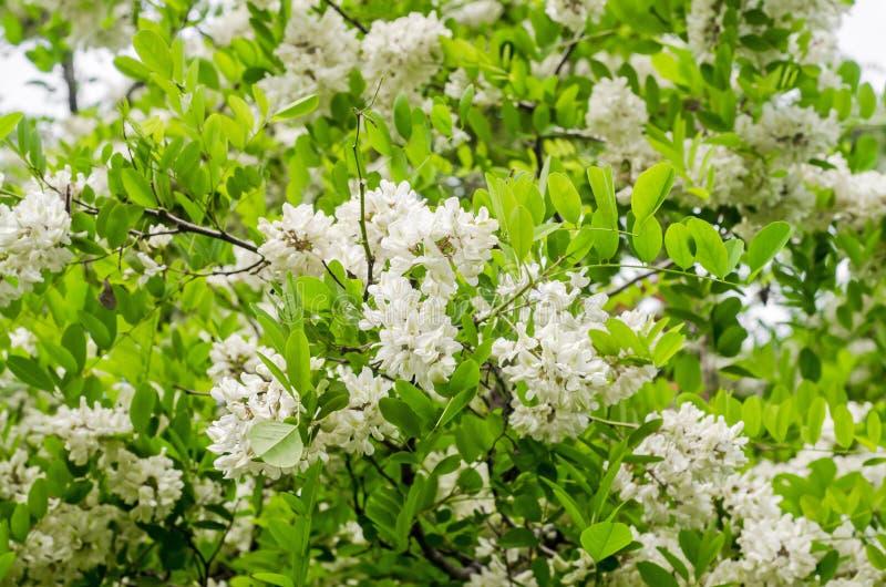 Fiori dell'albero di locusta nera immagini stock