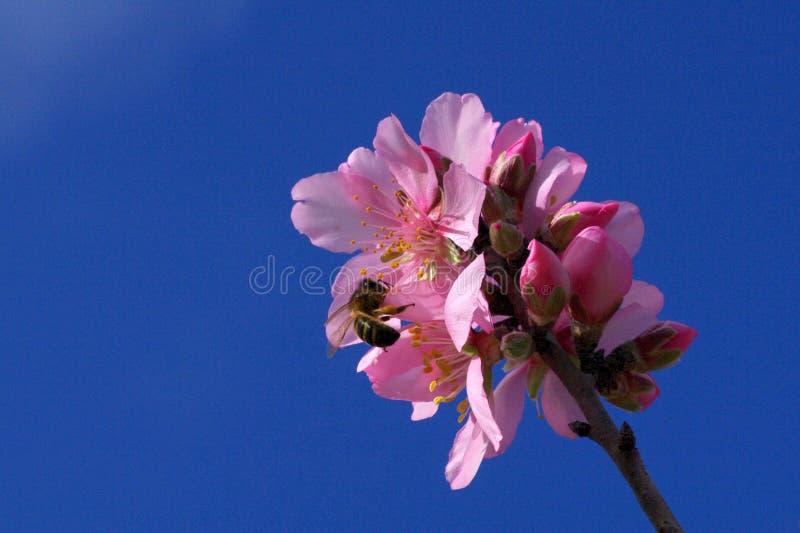 Fiori dell'albero di mandorla fotografia stock