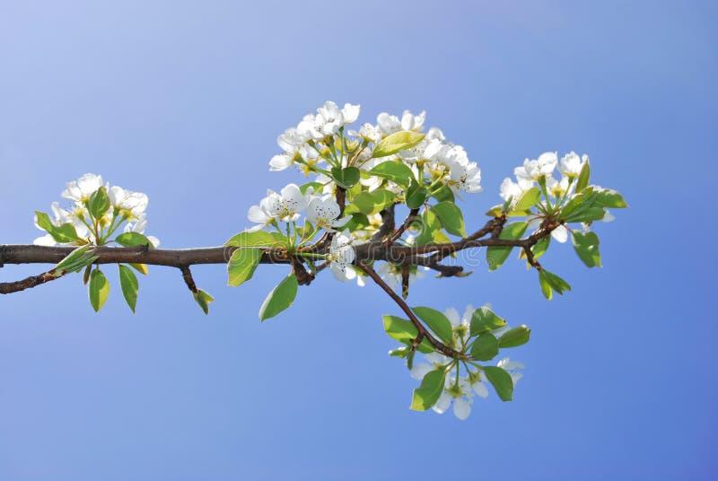 Fiori dell'albero di pera fotografia stock
