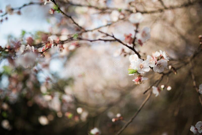 Fiori dell'albicocca fotografie stock libere da diritti