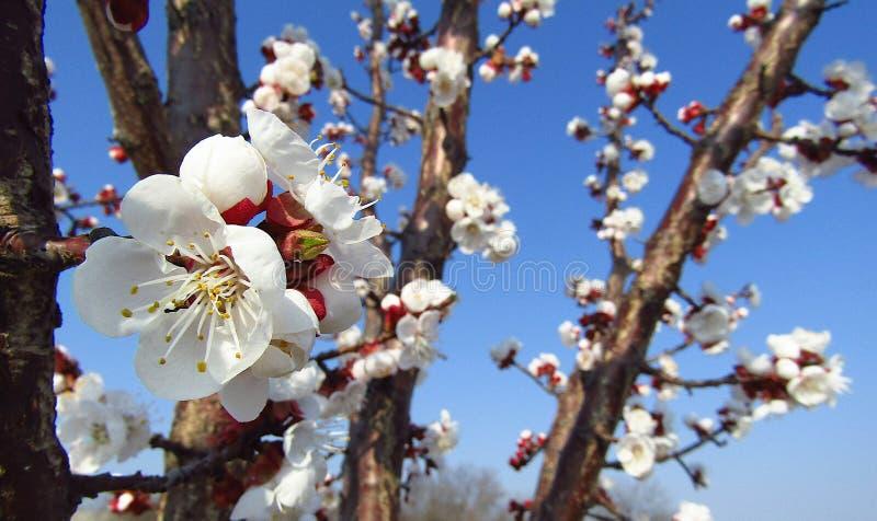 Fiori dell'albicocca sui rami dell'albero di prunus armeniaca, primo piano immagini stock libere da diritti