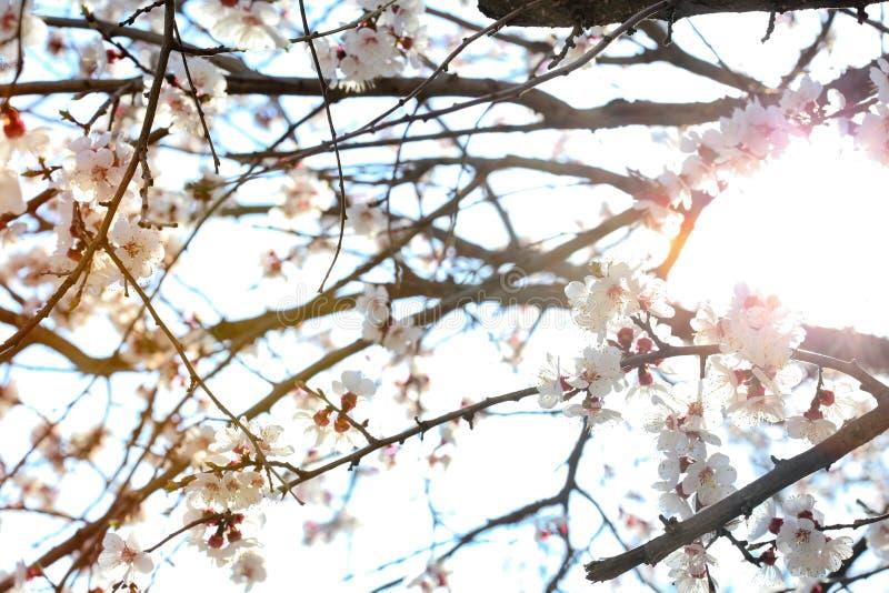 Fiori dell'albicocca sul fondo del sole immagine stock