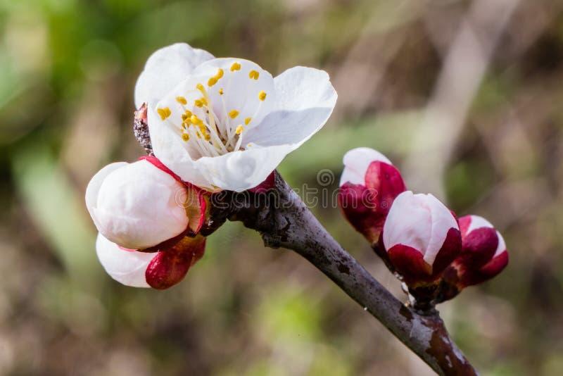 Fiori dell'albicocca sul ramo, prunus armeniaca, fotografia stock