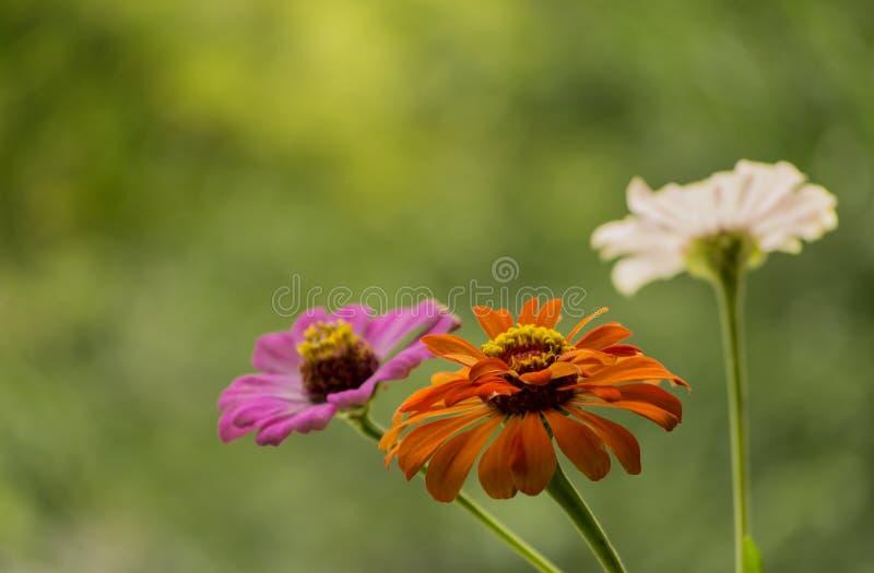Fiori dell'autunno in giardino immagini stock libere da diritti