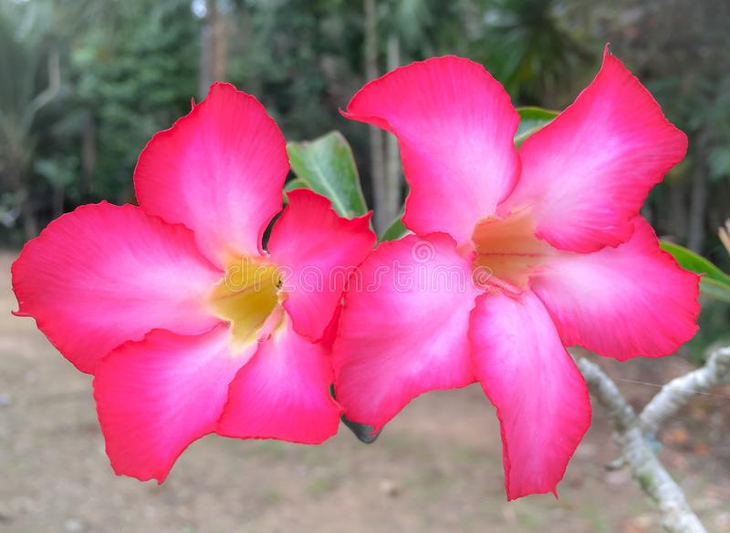Fiori dell'azalea immagine stock