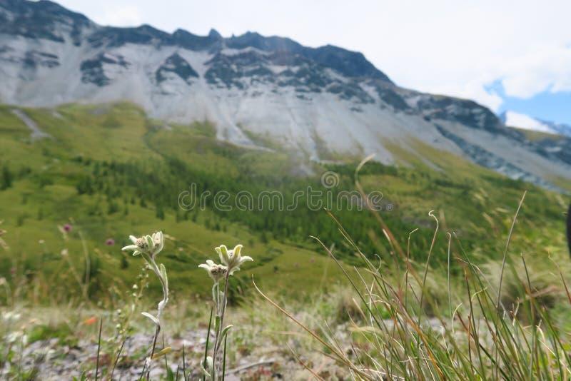Fiori dell'edelweiss sui precedenti delle montagne Paesaggio di estate della montagna, montagne verdi della natura fotografia stock libera da diritti
