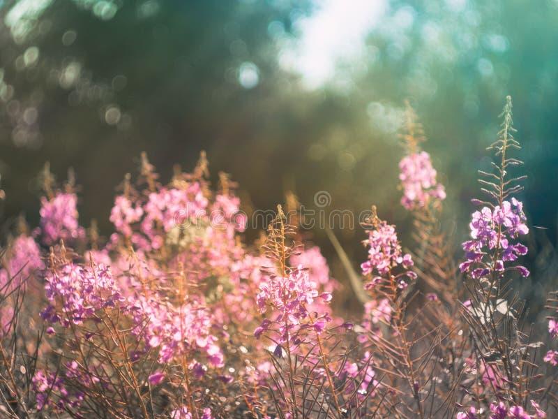 Fiori dell'epilobio alla luce solare morbida della sera di estate, ima fotografia stock libera da diritti