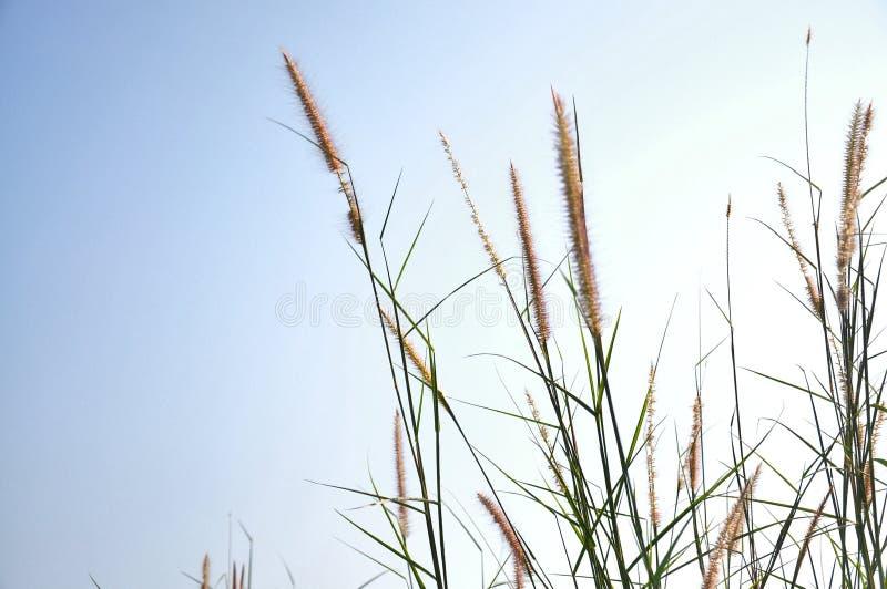Fiori dell'erba nel campo di thr fotografia stock libera da diritti