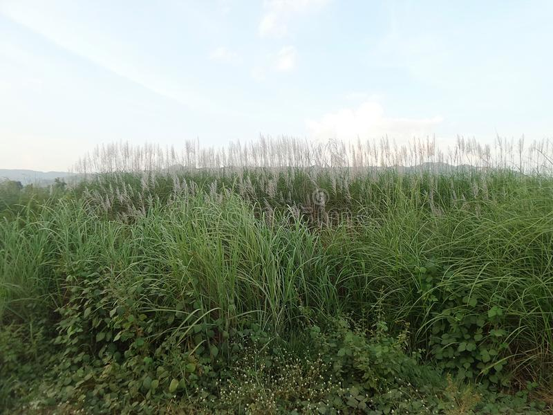 Fiori dell'erba nel campo verde immagini stock