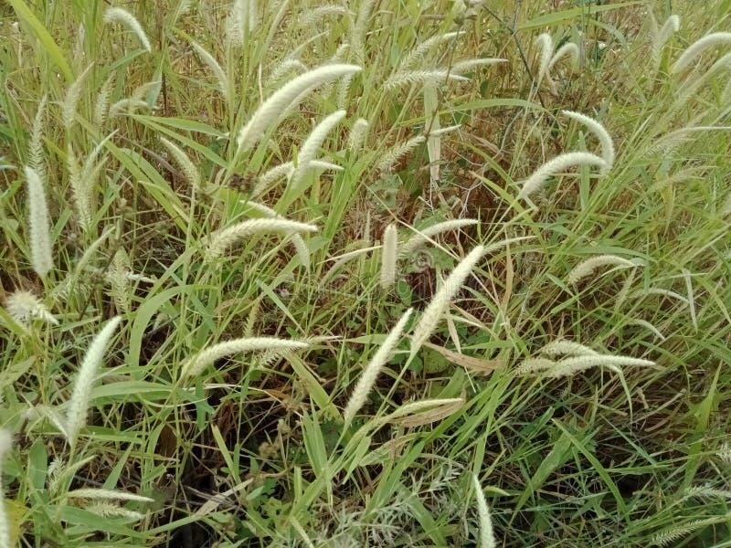 Fiori dell'erba verde di colore bianco fondo della carta da parati del paesaggio fotografia stock