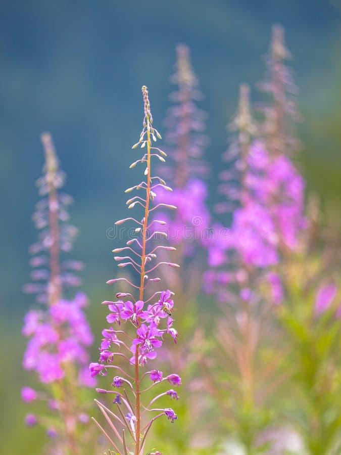 Fiori dell'erbaccia del salice di estate fotografia stock
