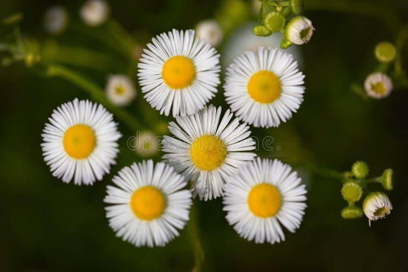 Fiori dell'erigeron bianco fotografia stock libera da diritti