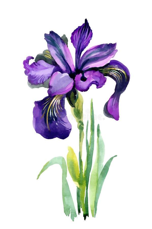 Fiori dell'iride del giardino dell'acquerello isolati su fondo bianco illustrazione di stock